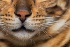 Portrait of bengal cat Stock Image
