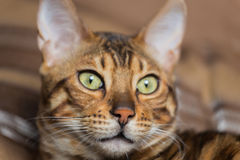 Portrait of bengal cat Stock Photography