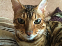 Portrait of bengal cat Royalty Free Stock Photography