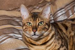 Portrait of bengal cat Royalty Free Stock Images