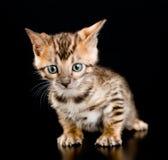 Portrait bengal kitten on dark background Royalty Free Stock Photos