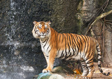 Portrait of Bengal tiger stock photo