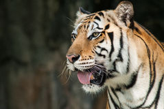 Portrait of a bengal tiger. Royalty Free Stock Photo