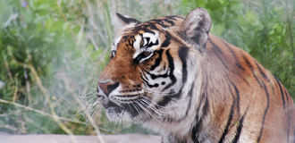 A Portrait of a Bengal Tiger in the Forest Stock Image