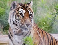 A Portrait of a Bengal Tiger in the Forest Stock Photo