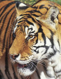 A Portrait of a Bengal Tiger in the Forest Stock Images