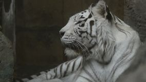Portrait of bengal tiger. In profile stock footage