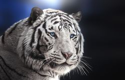 Portrait of Bengal tiger white variation on blue background royalty free stock photo