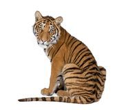 Portrait of Bengal Tiger, 1 year old, sitting, studio shot Stock Photo