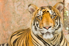 Portrait of a bengal tiger Royalty Free Stock Photography