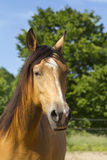 Portrait of a Berber horse. Royalty Free Stock Images