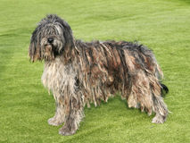The portrait of Bergamasco Shepherd dog. In the garden Royalty Free Stock Photo