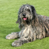 The portrait of Bergamasco Shepherd dog. In the garden Stock Photography