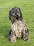 The portrait of Bergamasco Shepherd dog. In the garden Stock Photos