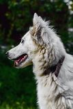 Portrait of Berger Blanc Suisse Royalty Free Stock Photography