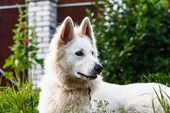 Portrait of Berger Blanc Suisse Stock Photography