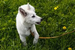 Portrait of Berger Blanc Suisse Stock Image