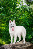 Portrait of Berger Blanc Suisse standing on tree. Beautiful Berger Blanc Suisse standing on tree at the green forest Royalty Free Stock Photography