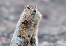 Portrait of a Bering gopher Stock Photo