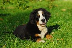 Portrait of the Bern sheep-dog. Portrait of the puppy Bern sheep-dog Stock Photos