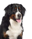 Portrait of a Bernes Mountain dog Royalty Free Stock Images