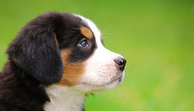 Portrait of Bernese mountain d Stock Photo