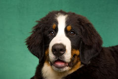 Portrait of Bernese Mountain Dog Royalty Free Stock Images