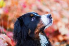 Bernese mountain dog with autumn colors in background Stock Photos