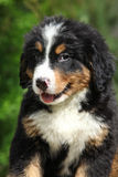 Portrait of Bernese Mountain Dog puppy Stock Photo