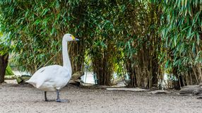 Portrait of a bewick`s swan, beautiful white water bird from Eurasia stock images