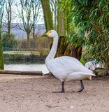 Portrait of a bewick`s swan walking towards the water, beautiful water bird from Eurasia royalty free stock photo