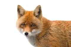 Portrait fox isolated on a white. Background stock images