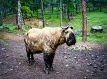 Portrait of Bhutan takin goat-cow. Portrait of takin goat-cow animal as symbol of Bhutan. Takin are found in bamboo forests at altitudes of 1,000 to 4,500 metres Stock Photos