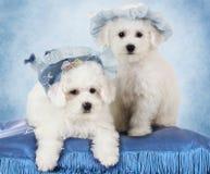 Portrait of Bichon Frise puppies Stock Images