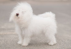 Portrait of a Bichon Havanese dog Stock Photography