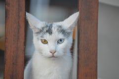 Portrait bicolore de chat d'oeil photographie stock libre de droits