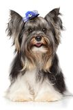 Portrait of a Biewer Yorkshire terrier Stock Photos