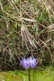 Portrait of big African blue lily. Masai Mara, Kenya. royalty free stock images