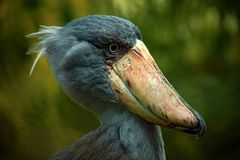 Portrait of big beak bird Shoebill, Balaeniceps rex. Uganda Stock Image