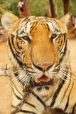 Portrait of a big beautiful tiger closeup Stock Photography