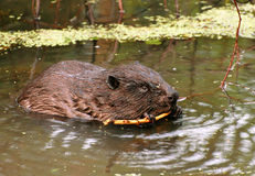 Portrait of a big beaver close up Royalty Free Stock Images