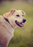 Portrait of a big beige dog. Royalty Free Stock Photo