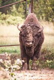 Portrait of big bison in small privately zoo. Soft focus. Toned.  stock photo