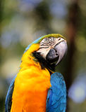 Portrait of a big blue macaws Royalty Free Stock Images