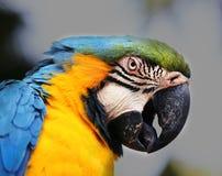 Portrait of a big blue macaws Stock Images