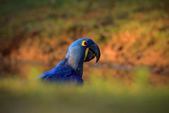Portrait big blue parrot Hyacinth Macaw, Anodorhynchus hyacinthinus, with drop of water on the bill, Pantanal, Brazil, South Ameri Stock Images