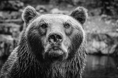 Portrait of big brown bear looking at the beholder. In monochrome Royalty Free Stock Photo