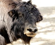 Portrait of a big bull yak Stock Image