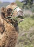 Vertical portrait of a camel eating grass stock photos