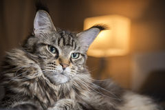 Portrait of big cat,on a dark background Royalty Free Stock Photography